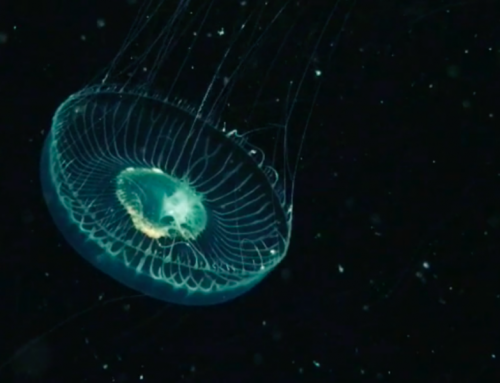 Watch:Tiny Film- Quebec Jellyfish